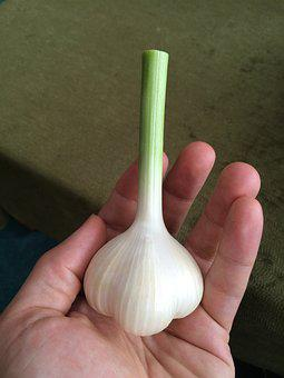 Garlic, Bulb, Fresh, Organic, Whole, Vegetable, Eating