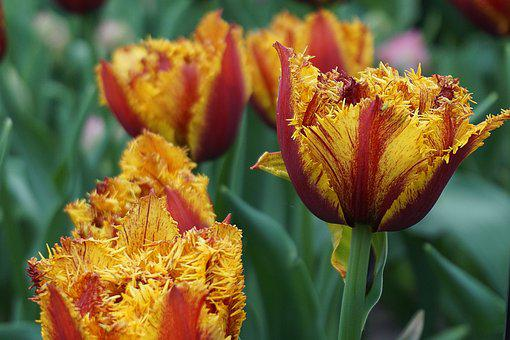 Tulips, Flowers, Flower, Spring, Red, Yellow, Close