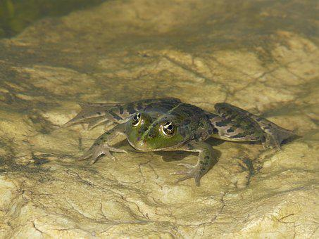 Frog Eyes, Pond, Toad, Water, Water Frog, Close, Green