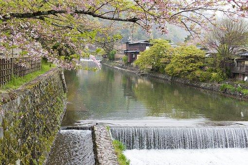 Sakura, River, Kyoto, Cherry, Tree, Japan, Blossom