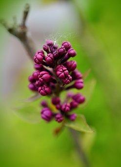 Lilac, Lilac Buds, Purple, Blossom, Bloom, Lilac Tree