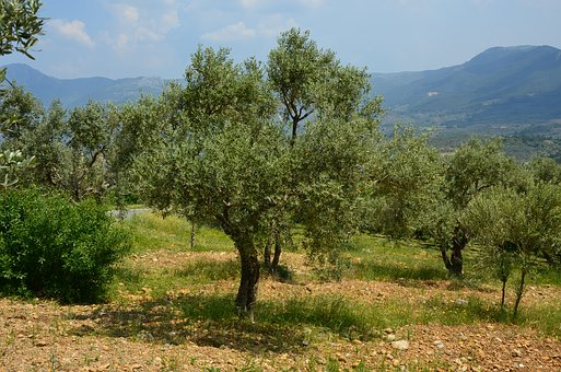 Olives, Olive Tree, Olive Magazine