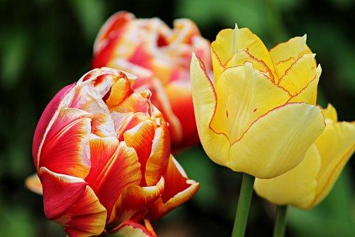 Tulip Flower, Tulips, Flowers, Spring, Orange