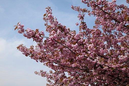Flowering Branches, Pink Flowers, Flower Tree