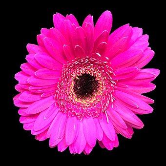 Gerbera, Flower, Pink, Cerise, Daisy, Blossom, Petal