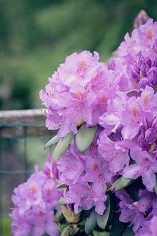 Rhododendrons, Plant, Flower Garden, Garden Plant