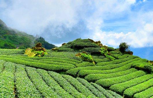 Tea, Hillside, Sky, Tea Garden, Green, Rules, Landscape