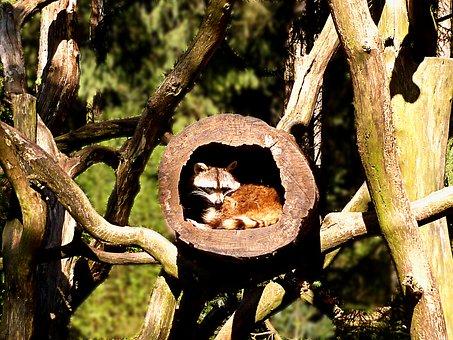 Raccoon, Small Bear, Mammal Animal, Furry, Fur