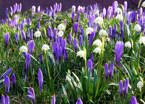 Husum, Spring Flowers, Crocus, Early Bloomer