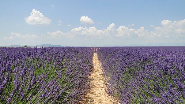Lavende, Flowers, Lavender, Valensole
