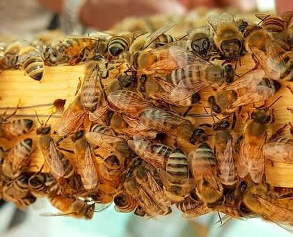 Bee, Bees, Honey, Honeybees, Wax, Hive, Frame, Closeup