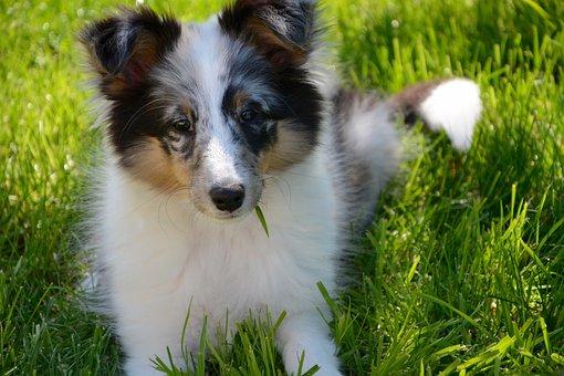 Shetland Sheepdog, Puppy, Young, Female, Animal