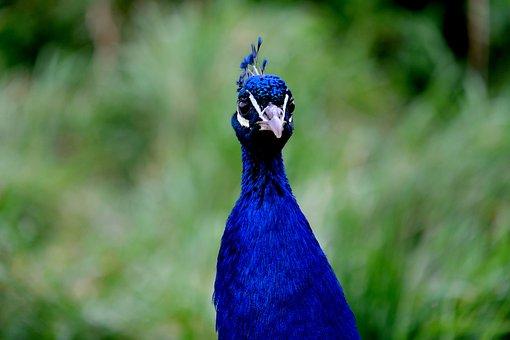 Peacock, Peacock Head, Bird, Nature, Animal, Blue, Head
