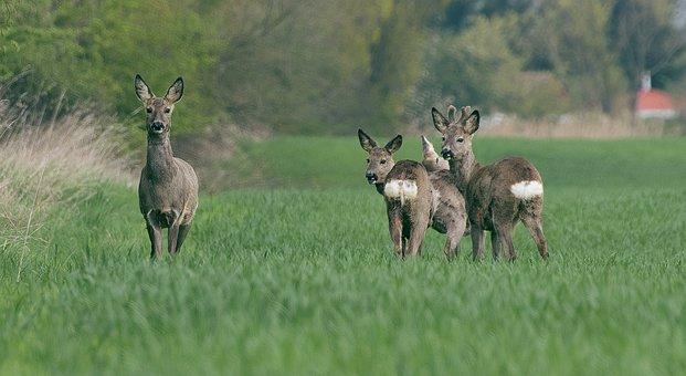 Roe Deer, Wild, Fallow Deer, Forest, Animal, Nature