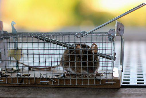 Mouse, Mousetrap, Case, Nager, Animal, Caught, Rodent
