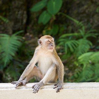 Monkey, Animal, Asian, Nature, Wild, Fur Leather