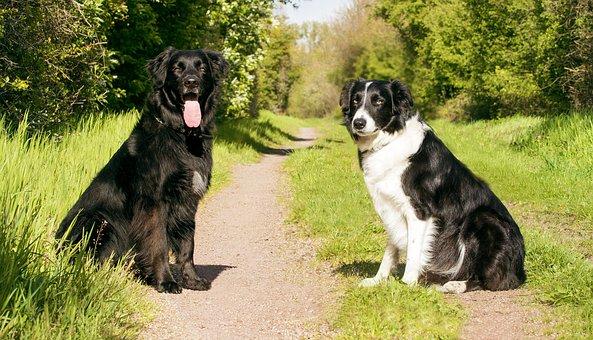Dogs, Animal Portrait, Pet, Forest, Labrador