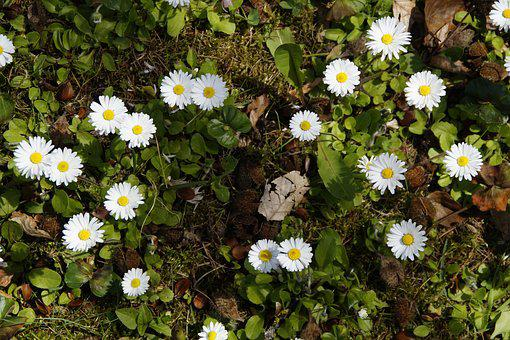 Daisy, Background, Structure, Texture, Ground, Rush