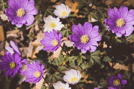Anemone, Flowers, Blossom, Bloom, Balkan Anemone, Close