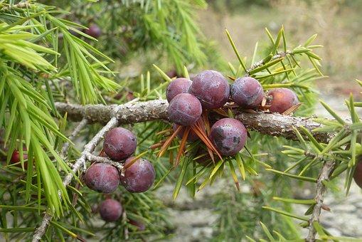 Juniper, Berry, Bush, Plant
