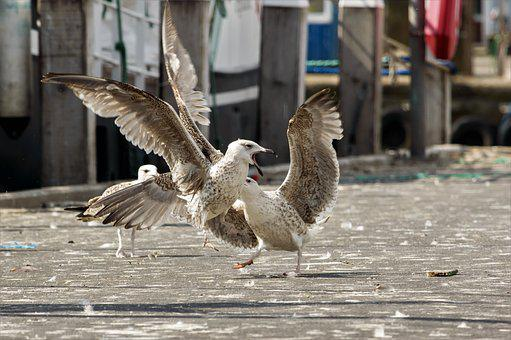 Seagull, Dispute, Waterfowl, Argue, Nature, Animals