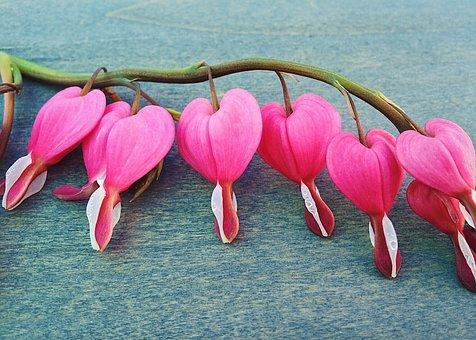 Bleeding Hearts, Spring, Flower, Heart, Plant, Floral