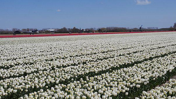 White, Tulip, Flowerbulbs