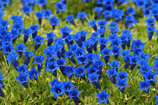 Gentian, Alpine, Mountain Flower, Bell, The Vegetation