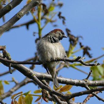 Bird, Songbird, Sparrow, House Sparrow, Sperling