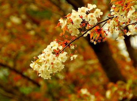 Cherry Distracting, Sakura, Japan, Cherry Blossoms