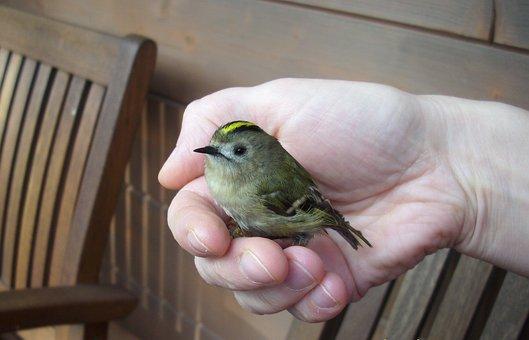 Bird, Hand, Goldcrest, Nature, Sit, Security, Keep