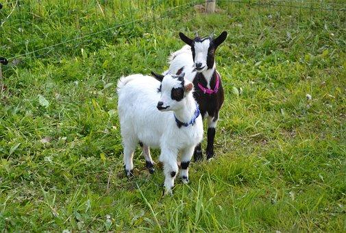 Goat, Kids, Breeding, Animal, Cute, Goat Baby, Goats