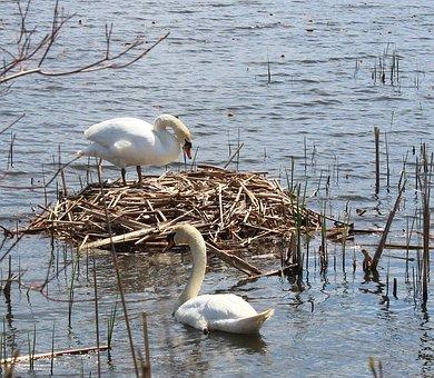Swans, Nest, Water, Spring, Lake, Habitat, Breeding