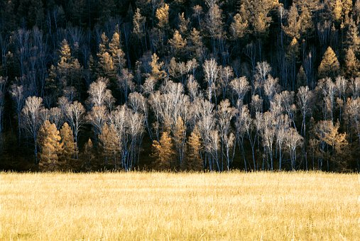 Late Autumn, Forest, Meadow, Birch, Larch