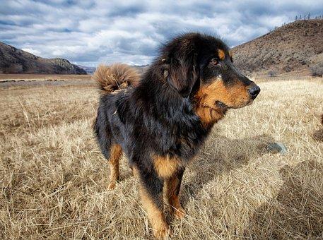 Dog, Mongolia Dog, Meadow, Bogart Village, October