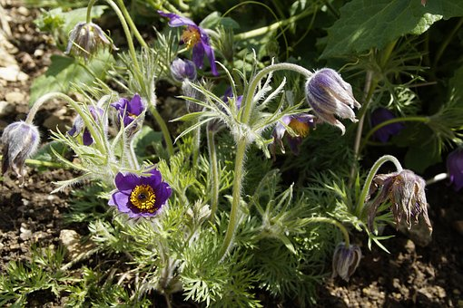 Pasque Flower, Pulsatilla, Plant, Homeopathy, Medical