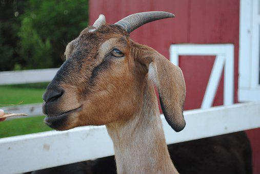 Goat, Billy, Nanny, Farm, Pet, Billy-goat, Ram
