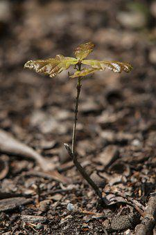 Forest, Oak, Spring, Button, Tree, Seedling, Growth