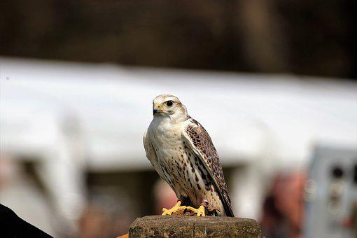 Saker Falcon, Bird, Falcon, Saker, Prey, Nature