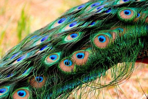 Spring Dress, Peacock, Feather, Pride, Plumage, Bird