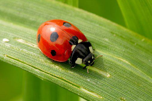 Ladybug, Insect, Red, Dots, Black, Leaf, Grass, Green