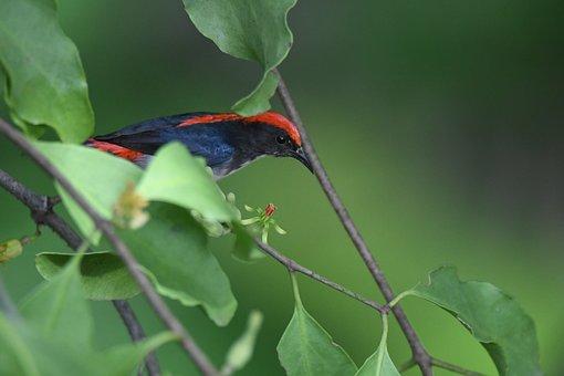 Scarlet-backed Flowerepecker, Bird, Dicaeum Cruentatum
