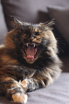 Cat, Fangs, Yawn, Kitty, Wild, Teeth, Pet, Domestic