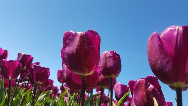 Tulip, Flowerbulbs, Purple