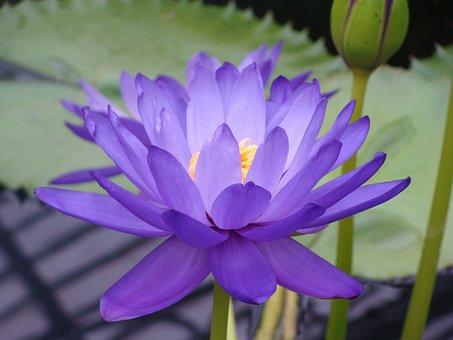 Water Lily, Nymphea, Lotus, Blue Lotus, Nympheaceae