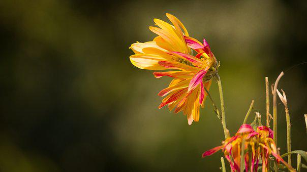 Withered Flower, Withering Mum, Withering Chrysanthemum