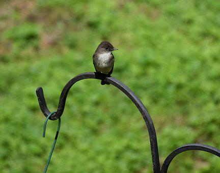 Eastern Phoebe, Tyrant Flycatcher, Bird, Animal