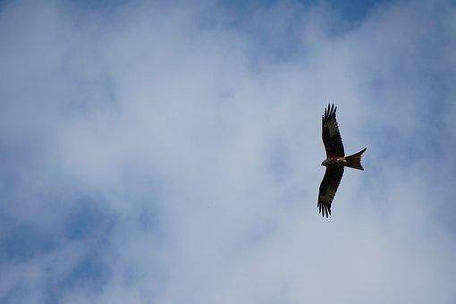 Milan, Red Kite, Feather, Bird, Raptor, Bird Of Prey