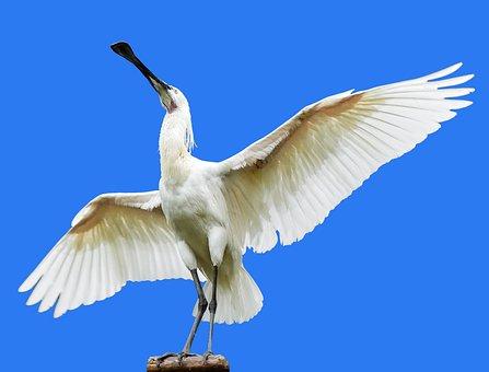 Animal, Bird, Heron, Spoon Heron, Löffler, Wing, Fly