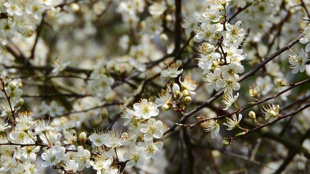 Prunus Spinosa, Blackthorn, Spring Flowers